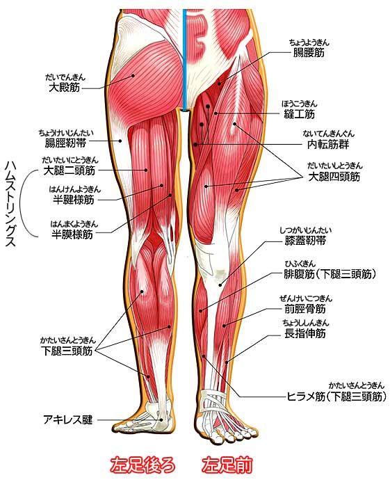 図解:腰・臀部・脚の主な筋肉・名称