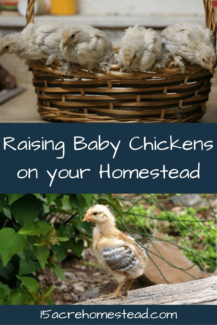 Guidelines and pointers when raising baby chickens on your homestead.
