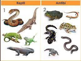 Pendidikan: Perbedaan Amfibi vs Reptil