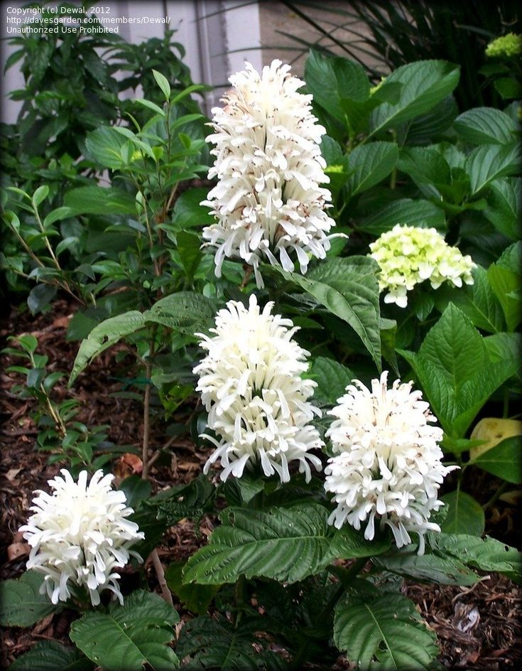 View picture of Brazilian Plume Flower, White Brazilian Plume, White Jacobinia 'Alba' (Justicia carnea) at Dave's Garden.  All pictures are contributed by our community.