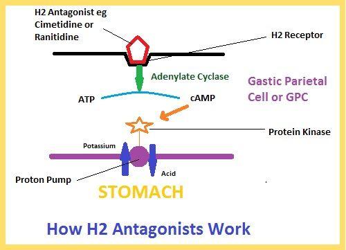 How H2 Antagonist Drugs Work  www.refluxy.com