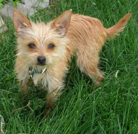Chorkie Pictures and Photos, 1 | Animal Love | Pinterest ...