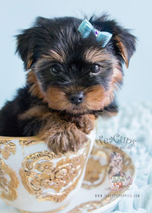 159 best images about Teacup Yorkies & Yorkie Puppies on ...