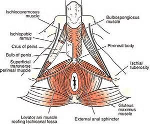 Charming The Male Pelvic Floor Innervation Of Intrinsic   Bing Images | Male Pelvic  Pain | Pinterest | Pelvic Floor