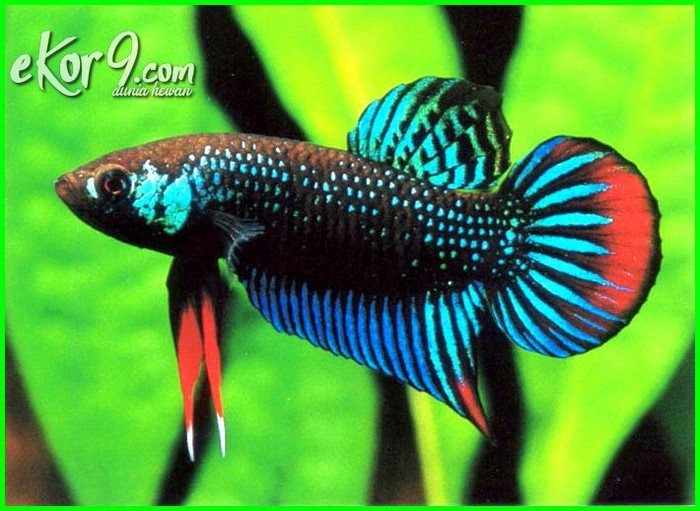 Mengenal Perbedaan Ikan Cupang Hias Dan Aduan Serta 6 Jenis Yang Paling Laris Dunia Fauna Hewan Binatang Tumbuhan Ikan Cupang Ikan Betta
