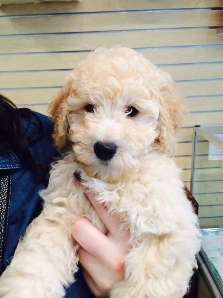 25 best ideas about goldendoodle grooming on pinterest puppy care dog care and dog stuff. Black Bedroom Furniture Sets. Home Design Ideas