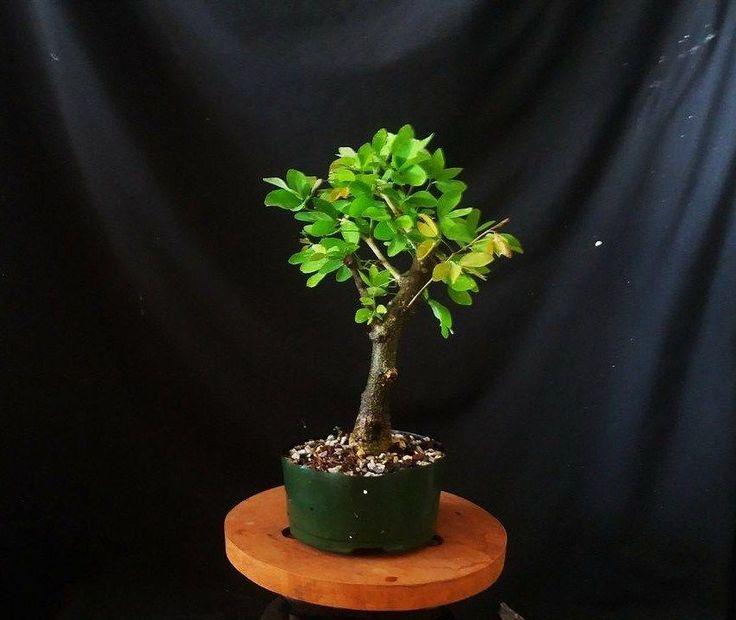 Manila Tamarind--Guama Americano (Pithecellobum Dulce) pre Bonsai tree -NR