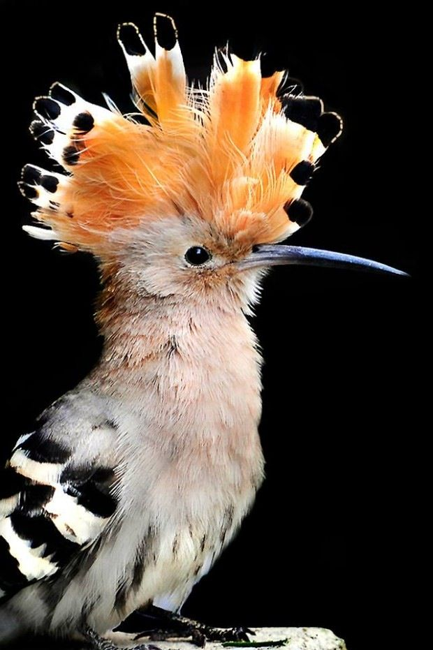 Hoopoe...this bird looks awesome!