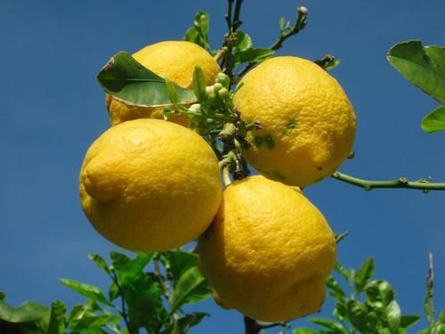 Gebruik veelvuldig citroen. Citroen bevat citroenzuur en dat helpt als een buffer voor de opname van suiker in het bloed. Daarnaast bevat citroen diverse mineralen en antioxidanten, die helpen de leverfunctie en de insulinesignalering te stabiliseren en te verbeteren. De vrucht verlaagt de bloedsuikerspiegel en helpt deze constant te houden.