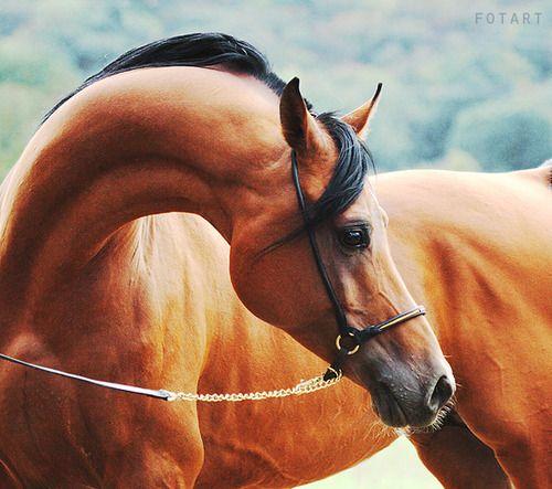 Beautiful Arabian!