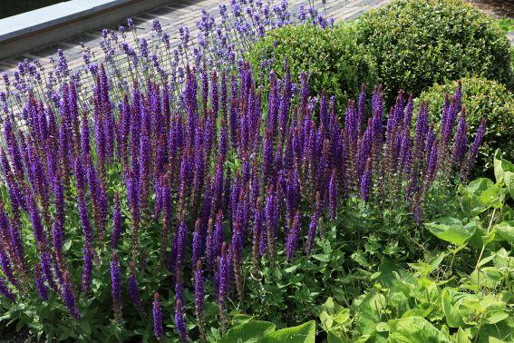 Salvia Lavendel En Buxusbollen Combineren Van Blauw Paars