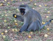 Vervet Monkey eating Marula Fruit