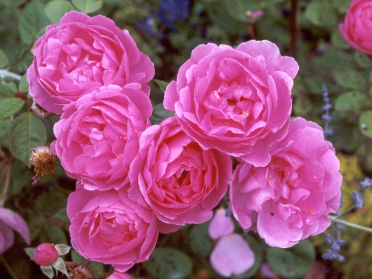 Raise The Roses! Help The Duluth Rose Garden Look Beautiful This ...