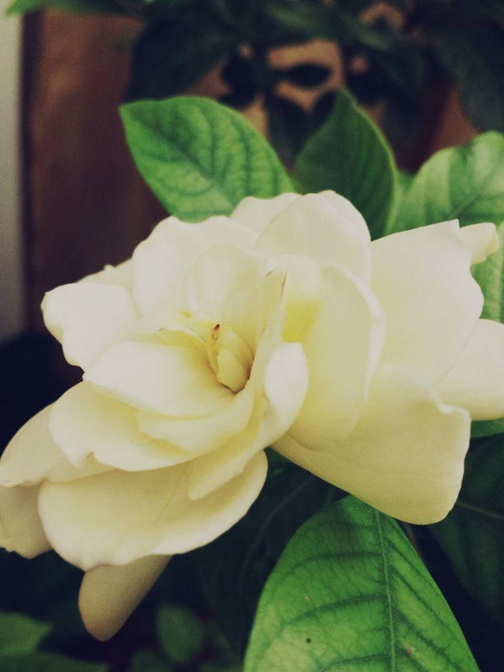 Beautiful Gardenia  by GhadaCamelia