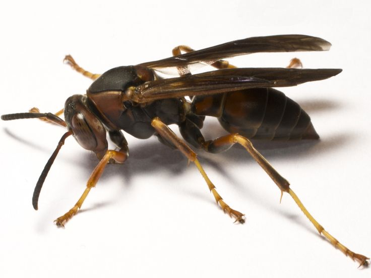 Approximately 2.2 cm Paper wasps are found throughout Australia. Have them controlled or else your home/building will be damaged. Brent Heness Inspection to the Rescue. #pests #householdpests #pestcontrol