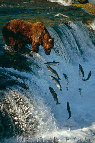 Wildlife,, Hunde-Lachs, Bäche-Fluss, Flussaufwärts, Laichen