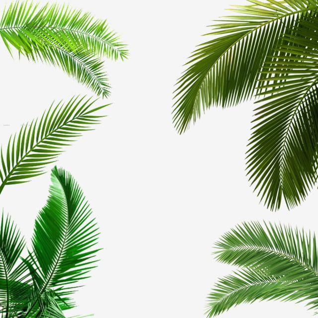 Folha De Palmeira Folha De Palmeira Clipart Folha Clipart Imagem Png E Psd Para Download Gratuito Palm Tree Leaves Cartoon Palm Tree Palm Background