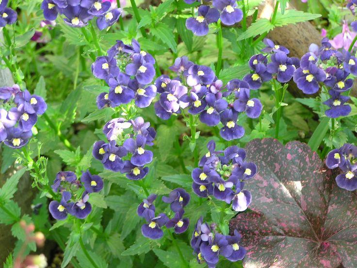 ネメシア   ゴマノハグサ科   花4月~12月 半日陰~日向   南アフリカ原産