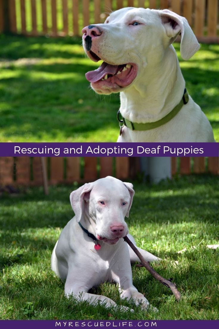 Meet Arlo And Winnie Two Deaf Great Dane Puppies Rescued From A