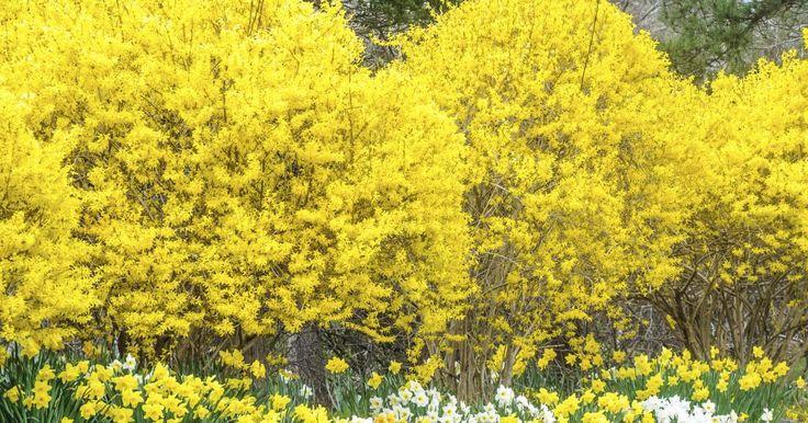 Damit Forsythien nicht überaltern und aus der Form geraten, sollten Sie die Blütensträucher etwa alle drei Jahre schneiden. Sobald der Blütenflor welkt, ist der richtige Zeitpunkt für den Auslichtungsschnitt gekommen.