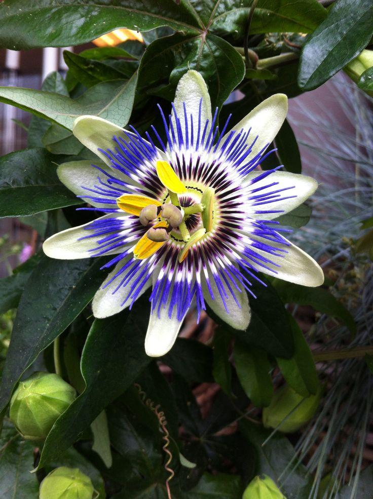 Vakker passiflorablomst på Finn Schjøll