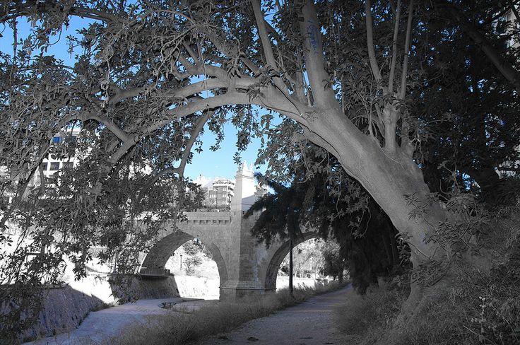 """Magnífico ejemplar de """"Phytolacca dioica"""", en el margen izquierdo del cauce urbano del río Vinalopó, a su paso por Elche."""