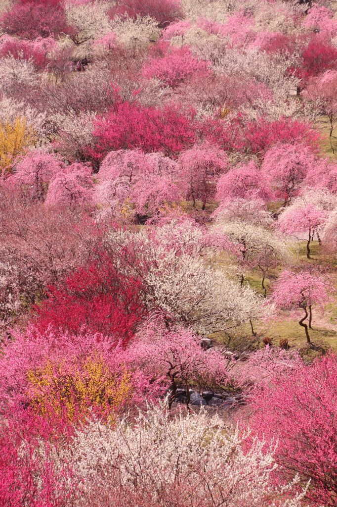 All sorts of pink hues in Plum Grove, Mie, Japan.