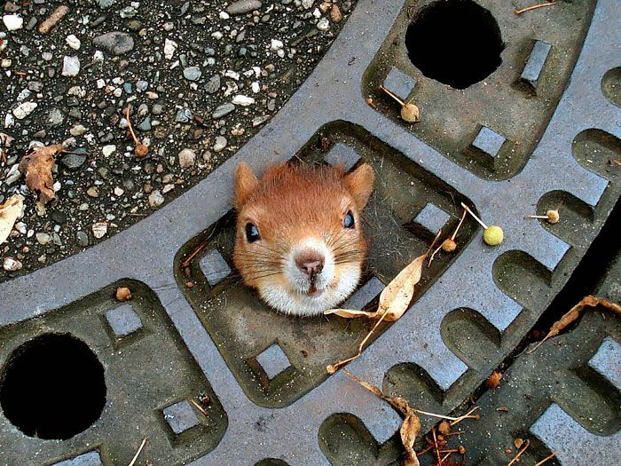 A Squirrel Stuck In A Manhole Cover On A Street In Isernhagen, Germany. The Squirrel Had To Be Rescued By The Police