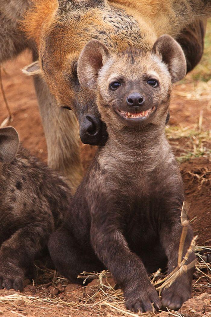 lustige tiere afrika savanne hyäne meine tierwelt