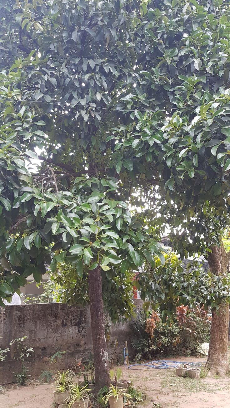 #mangosteen fruit tree #travelwithleo