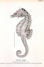 Image result for seashell drawing