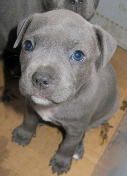 Blue Grey Staffy definitely my next dog ;) Dogs, Dogs