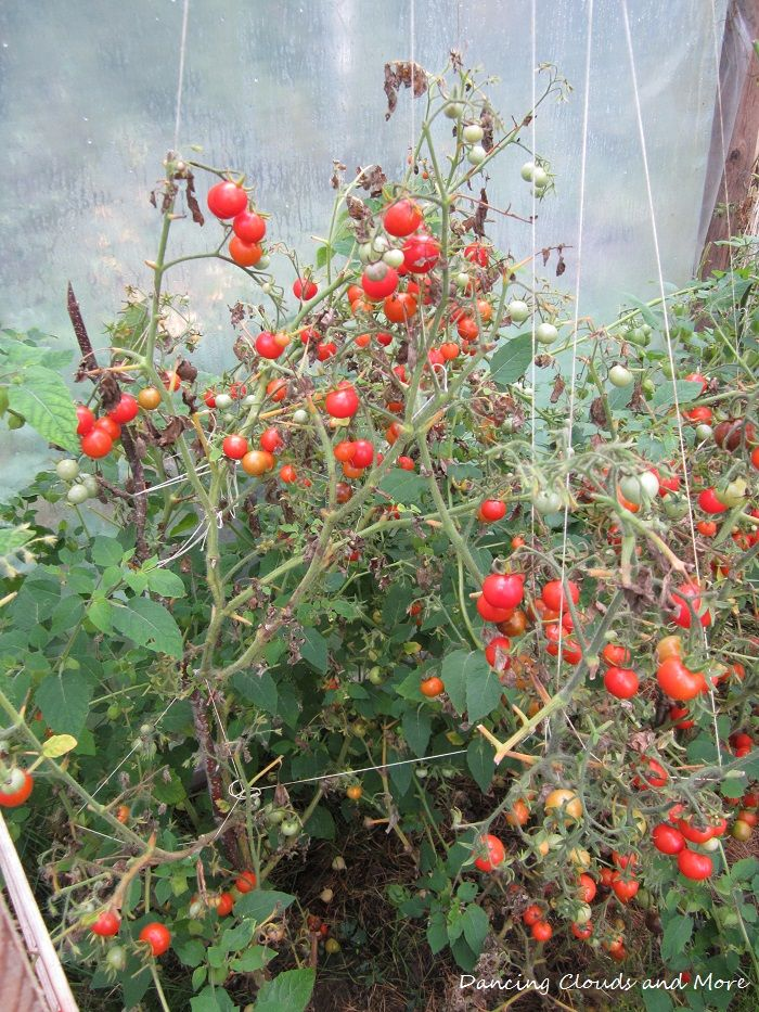 Picture taken from my greenhouse 2014. Last ripe tomatos before winter arrived.