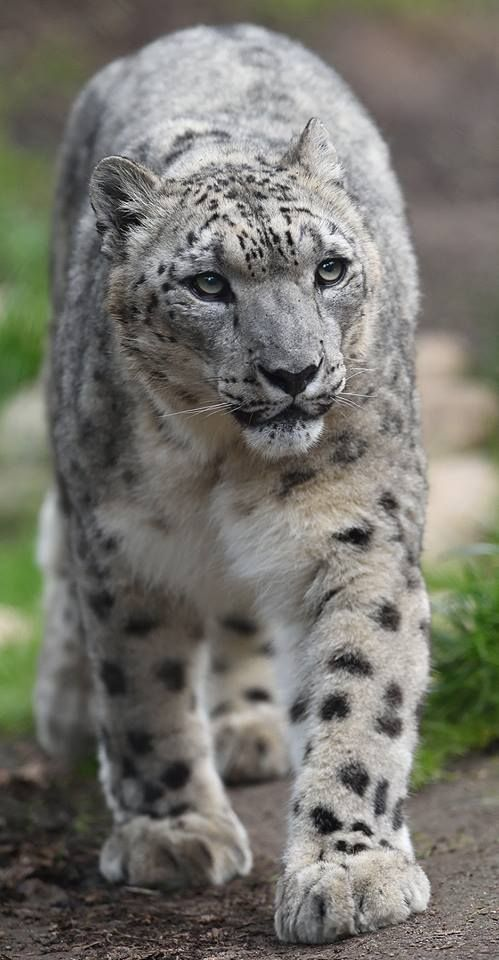 sdzoo: Surefooted climbers, snow leopards have been seen at altitudes as high as 18,000 feet (6,000 meters) in summer, which is just a few thousand feet short of climbing Mt. Everest. (source)