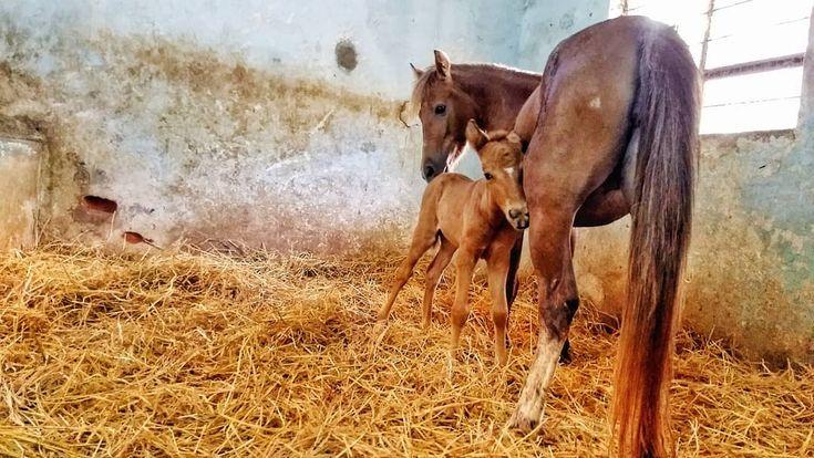 ::Mama's Girl :: . . . #horses #ponies #foal #babyanimals #horsesofinstagram #poniesofinstagram #cute #bundleofjoy #horselove #equine #veterinarian #equinevet #equinephotography #vetlife#Jkphotography