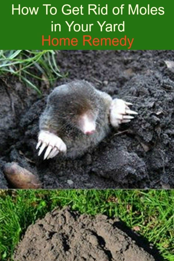 How To Get Rid of Moles in Your Yard - Home Remedy. Just because you have a mole in your yard, doesn't necessarily mean it's time for war!