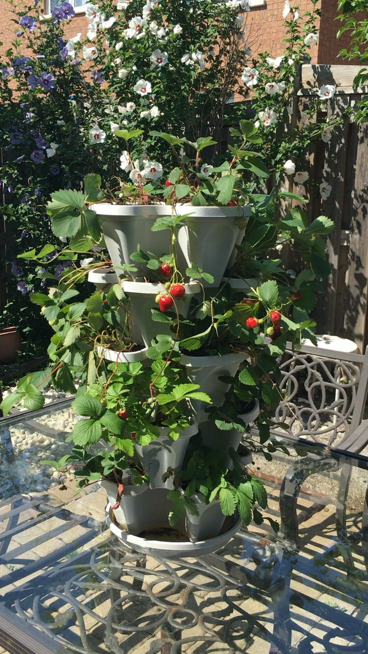 25 Best Ideas About Strawberry Bush On Pinterest