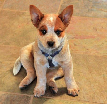 Red Australian Cattle Dog