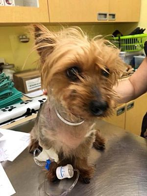 New York Ny Yorkie Yorkshire Terrier Meet Princess A Dog For