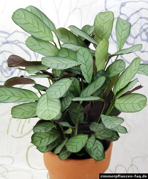 Ctenanthe burle-marxii 'Amagris' ~ Fishbone Prayer Plant ~ Korbmarante ~ pale silver-green veined leaves with mauve-purple underside