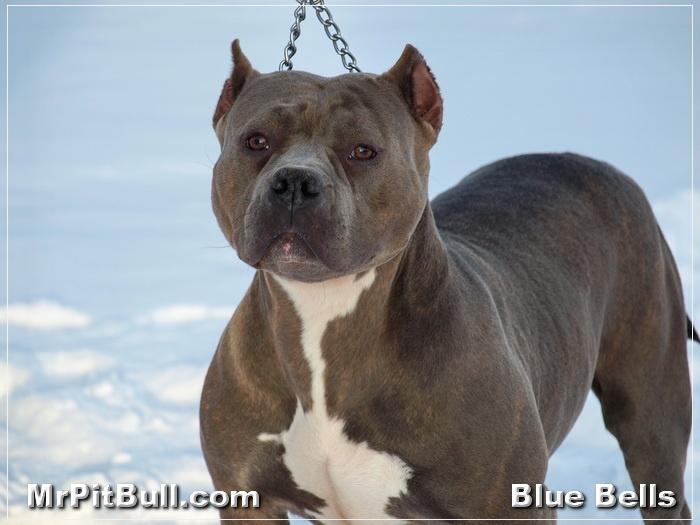 Gottiline-Pitbull-Bullies.JPG - Another reason why Gottiline Pitbull Bullies are so popular today.  Isn't she absolutely beautiful!