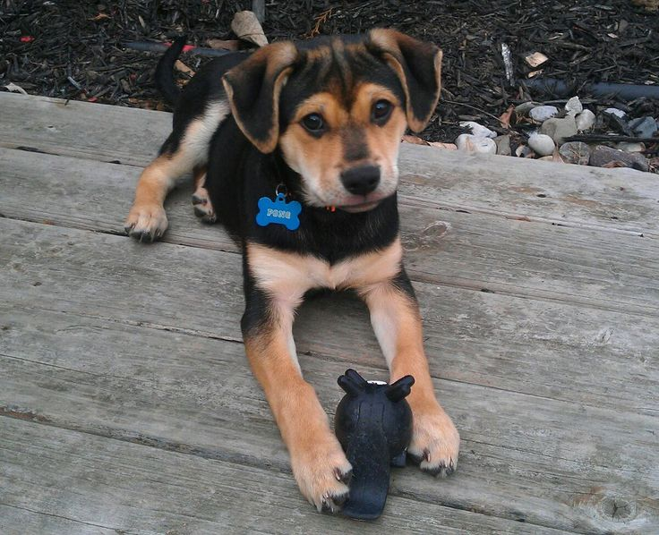 Beagle/German shepherd mix....I'd like to think bailey looked like this as a pup!