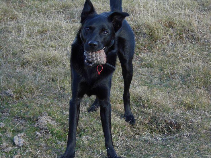 Australian Kelpie. Shadow with his pine cone, He always tries to take them home...