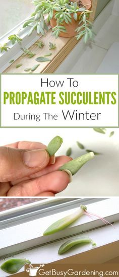 If you think summer is the only time you can propagate succulent cuttings, I have great news for you! I found an easy trick that makes propagating succulents in the winter almost as easy as it is during the summer, just follow these easy steps! #propagation #succulents #indoorgardening #getbusygardening
