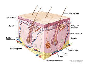 Muestra la epidermis, la dermis y el tejido subcutáneo.
