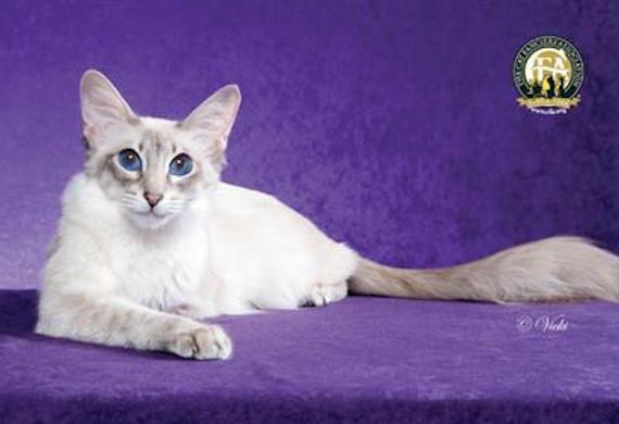 "Javanese : From the parent breeds of Siamese, Balinese, and Colorpoint Shorthair, the Javanese sports a medium-long coat & distinctive shades of color points: lynx, tortie or red/cream. this cat is affectionate and people-oriented, communicating when he has something to say and using a variety of ""voices"" to convey the right message."