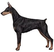 """~ """"Doberman Pinscher""""  AKC - Doberman Pinscher    A square, medium-sized dog, the Doberman Pinscher is muscular and possesses great endurance and speed. He is elegant in appearance and reflects great nobility and temperament. The properly bred and trained Doberman has proved itself to be a friend and guardian, and his intelligence and ability to absorb and retain training have brought him into demand as a police and war dog. The Doberman's short, hard coat can be black, red, blue"""