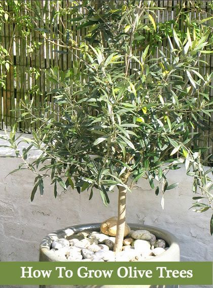 How To Grow Olive Trees - In Your Backyard Or Containers... - Gardening For You