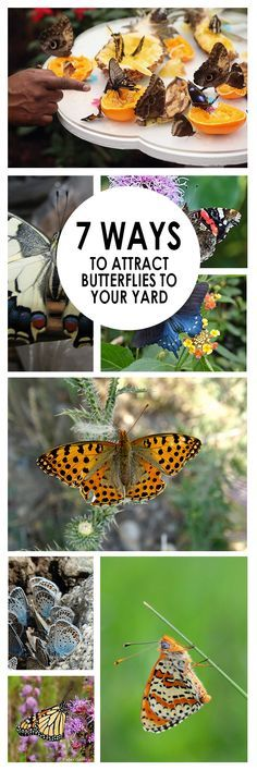 Butterflies add a little magic and beauty to every yard and garden. They also can be very useful in pollinating  Try some of these ideas to attract more butterflies to your garden.