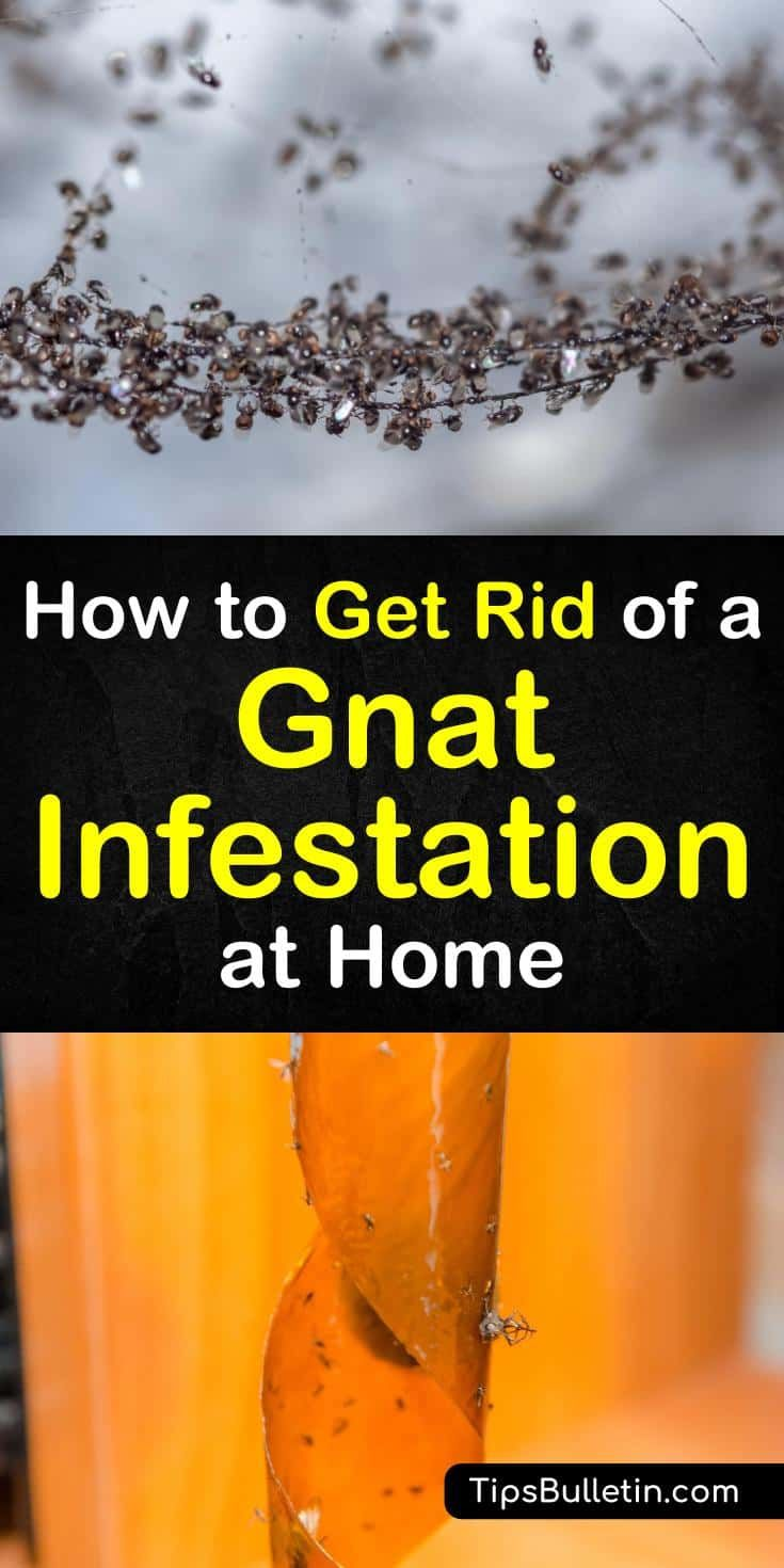 3 Fast Easy Ways To Eliminate A Gnat Infestation How To Get Rid Of Gnats Gnats Infestations